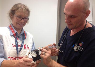 Magpie receiving treatment, Roseworthy Vet School