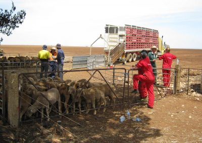 Triaging sheep, assisting PIRSA